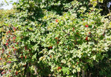 Aus der Küche | Rote Johannisbeermarmelade mit Portwein und Vanille