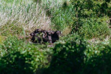 Naturerlebnisse | Wandern zwischen Wildpferden und Hochlandrindern auf den Waldweiden Hobrechtsfelde
